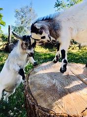chèvres 2.png