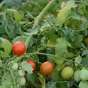 tomate barbaniaka.jpg