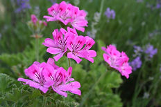geranium pelergonium.jpg