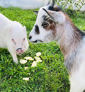 chèvres et cochon.png