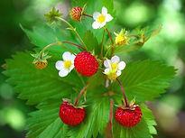fraise des bois.jpg