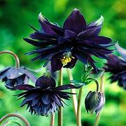 ancolie black.jpg