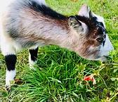 chèvre 1.png