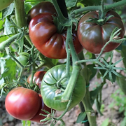 tomate black from tula.png