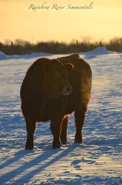 bull calf on snow_2013_edited-1-LQ.jpg