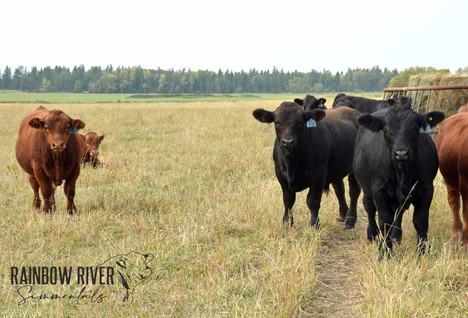 Bull calves group shot-3-2020Sept20_edit