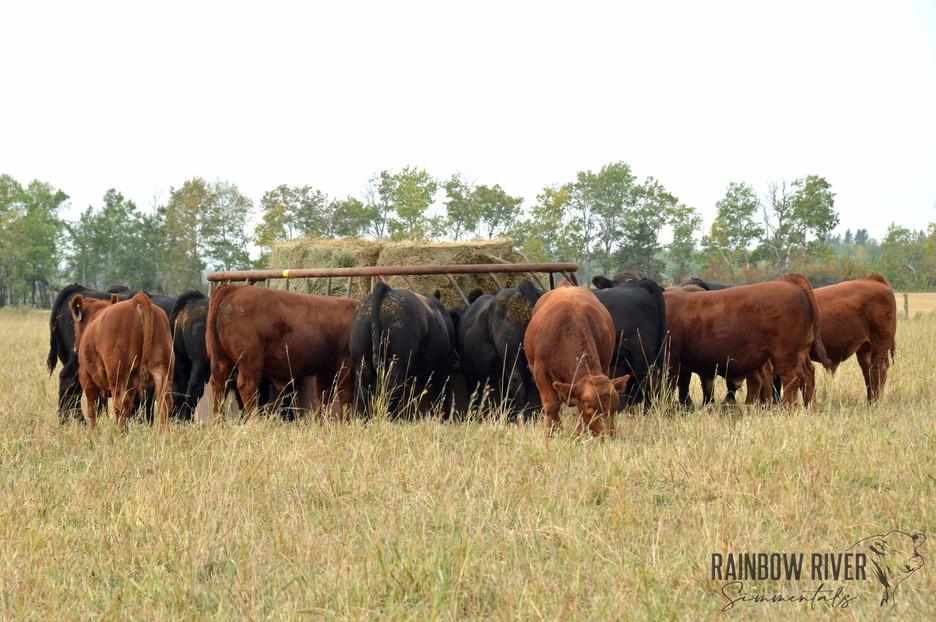 Bull calves group shot-2020Sept20_edited