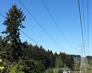 Hazardous Douglas fir tree near power lines