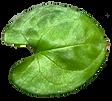 juvenile leaf.png