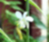 spider flower.jpg