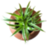 variegatum.png