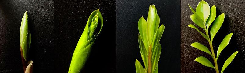 zz plant strip.jpg