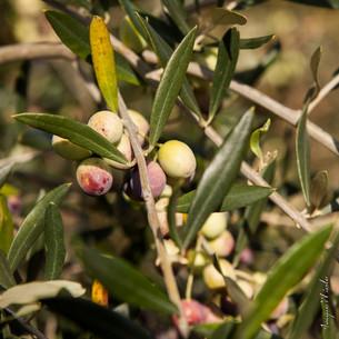 Belgentier la ville des oliviers