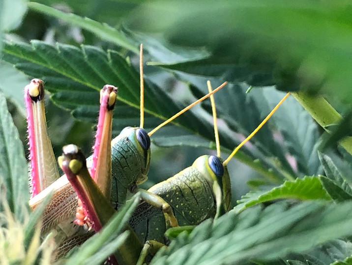 Hemp Grasshopper