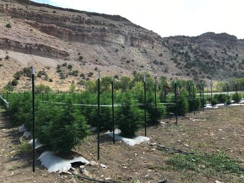 Hemp Sapling Colorado