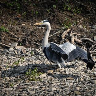 Grey Heron & Crow.