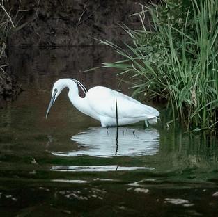 Egret – River Wye