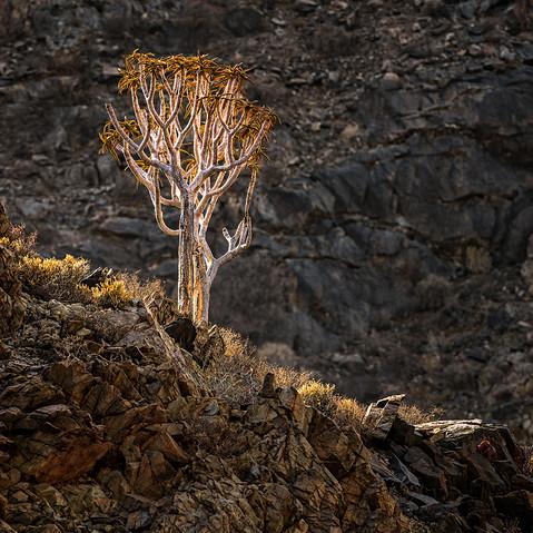 Quiver Tree.jpg