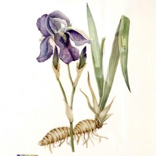 Serie Botánica: Iris Germánica