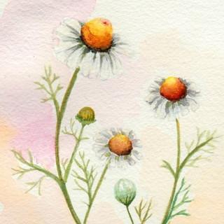 Serie Botánica: Manzanilla