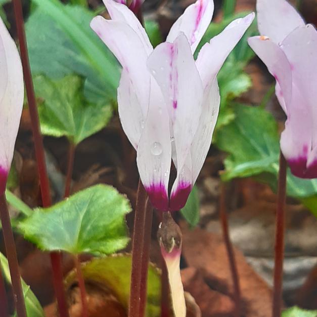 Cyclamen ssp