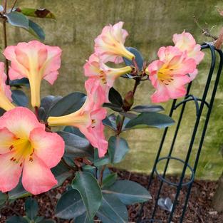 Rhododendron 'cara mia'