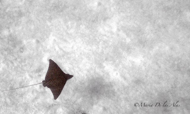 Eagle Ray Pass on the north side of Grand Cayman is an amazing site with lots of opportunity to spot a 'fever' of rays.