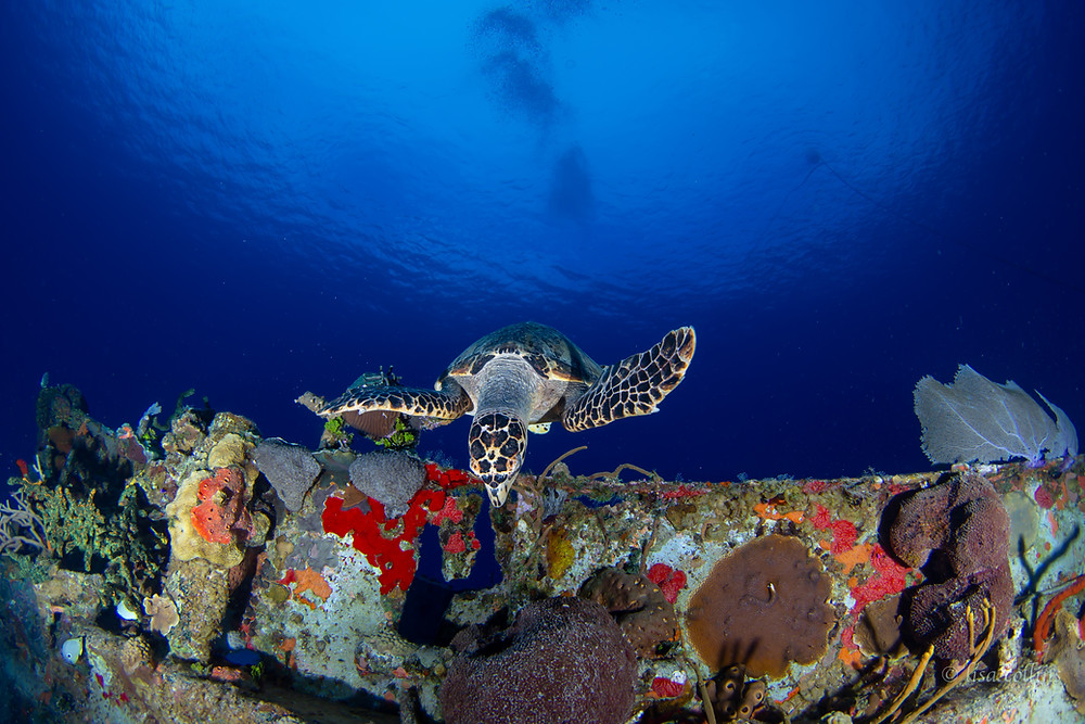 Resident Cayman turtles visit the Wreck of the Nicholson on the Sunset House reef often.