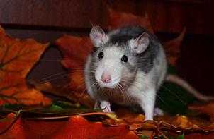rat-871089_1920.jpg
