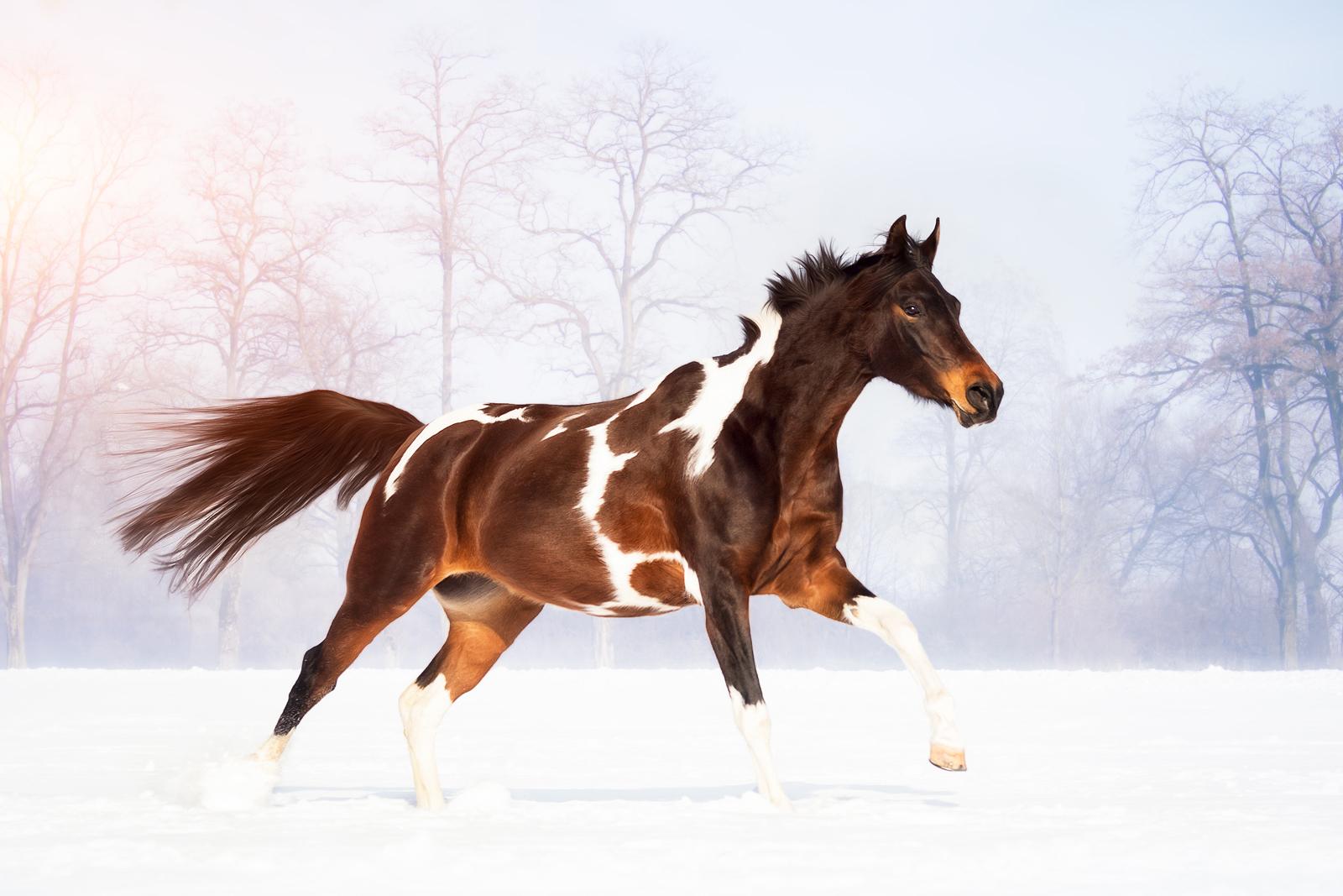 Pinto Arabian