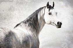 Knies Arabian Stallion