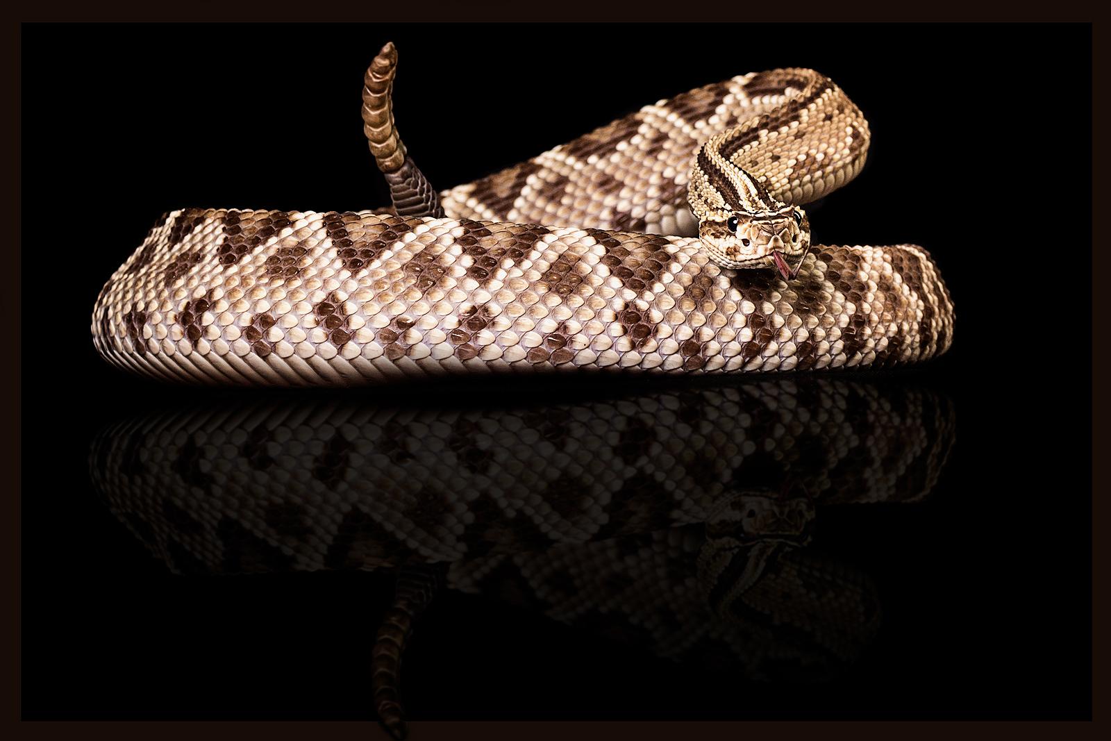 Südamerikanische Klapperschlange