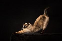 Siam Katze