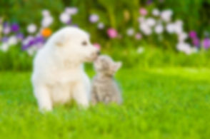 White Swiss Shepherd`s puppy kissing kit