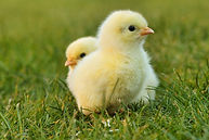chicks-5014152_1920.jpg