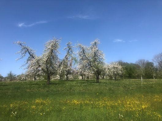 Blühende Obstbäume.jpg