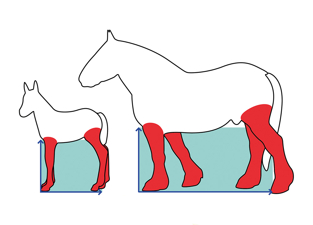 PROPORTIONS: FOAL TO HORSE