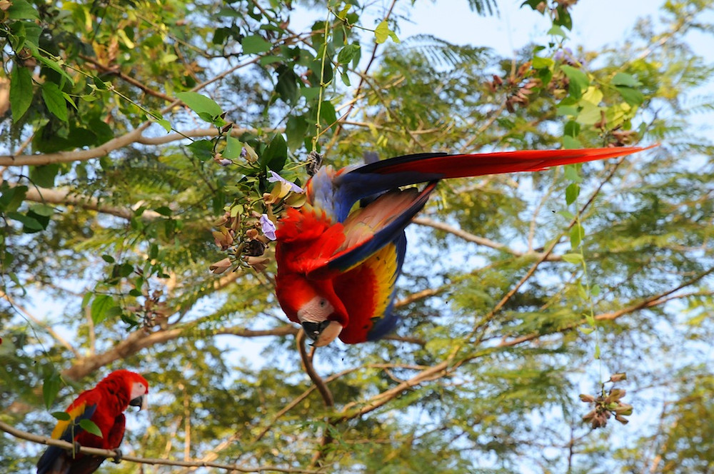 Scarlet Macaw Sanctuary -Los Delfenis Golf & Country Club