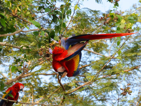 Scarlet Macaw Parrot Program In Our  Back Yard Golf Course -Costa Rica.