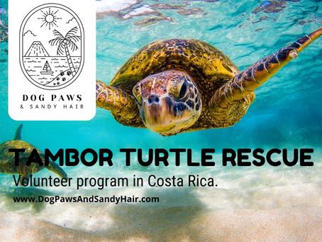 Tambor Turtle Rescue Volunteer Program In Costa Rica.