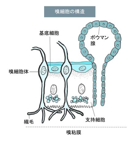 旧細胞の構造.png