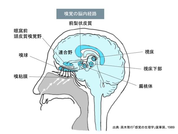 嗅覚の脳内経路.png