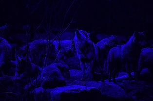 wolf%20pack%20on%20rock%20formation_edit