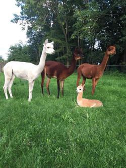 alpaca's-in-de-wei.jpeg