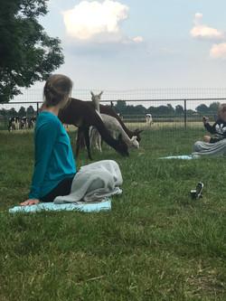 Yoga bij de alpaca's