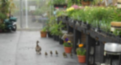 ducks 001.jpg