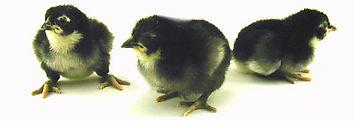 Black Minorca Chick.jpg