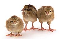 chicks welsummer.jpg