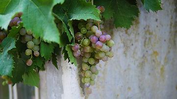 vine-3076462_1920.jpg