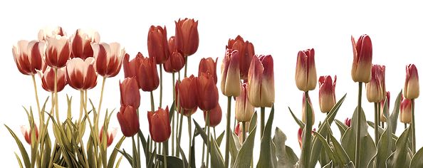tulip-3024741_1920_edited.png
